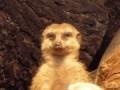 Tired Meerkat