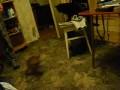 Пес играет с котами