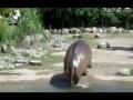 Пердящий бегемот срет