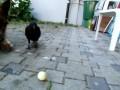 Ворона, шарик и собака