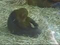 Шимпанзе насилует лягушку