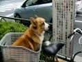 The Celebrated Reading Dog of Kōtō-ku, Tokyo