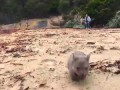 Derek the wombat from Tasmania's Flinders Island