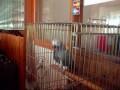 Мяукающий попугай