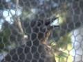 Птица-имитатор