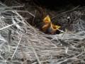 Свили гнездо в гриле