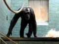 Немного странный шимпанзе