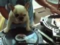Собака DJ
