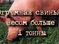 ОГРОМНАЯ СВИНЬЯ ВЕСОМ БОЛЬШЕ 1 ТОННЫ