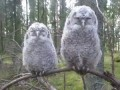 Два совенка на суку | Two Owls on a branch | Deux hiboux sur une branche