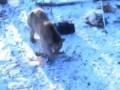 Чуваки и медведь