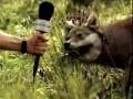 Волк жует траву
