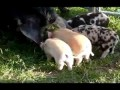 Летающий поросёнок (pigs will fly_mpeg2video.mpg)