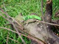 2 ящерки и кума