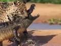 Ягуар напал на крокодила!