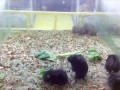 Хомяки - HamstersShake Harlem Shake