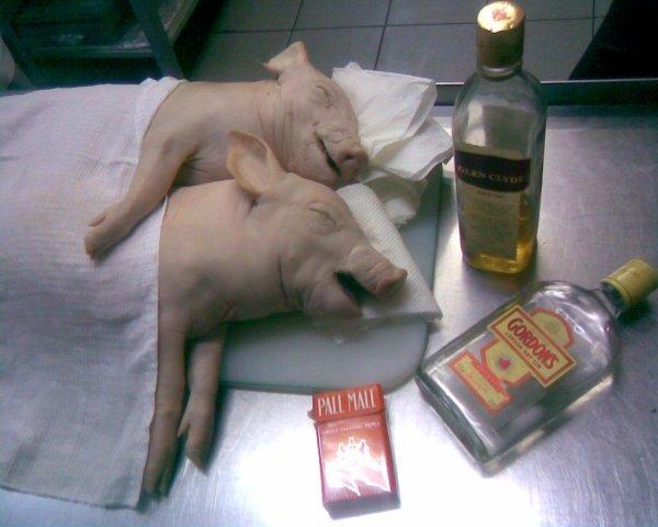 Смешная картинка свинья нажралась, сам
