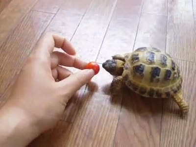 Turtle Wants Tomato
