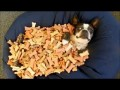 Boston Terrier lays in a pile of Treats